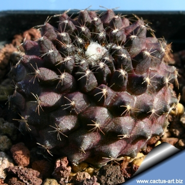Copiapoa tenuissima for Cactaceas de chile