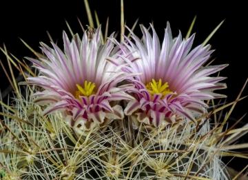 Lauraceae  The Plant List