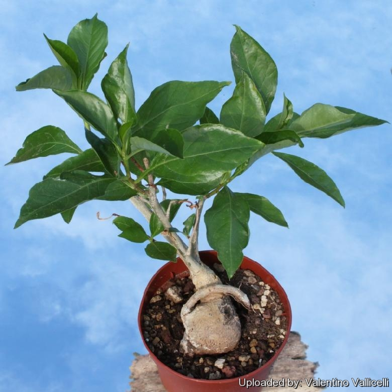A young ''Bonsai'' of Baobab (Adansonia digitata)