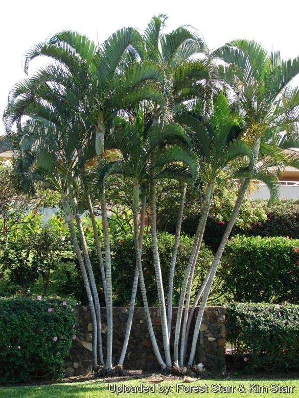 Chrysalidocarpus lutescens - Real areca palm ...