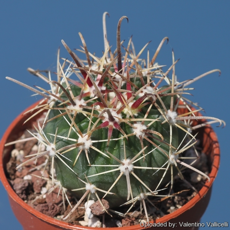 Ferocactus fordii for Feroxcactus chile