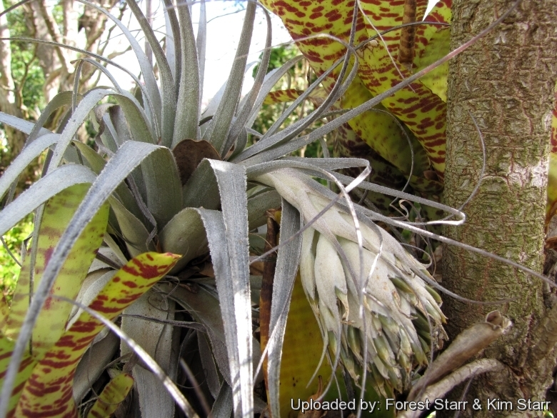 Habit with fruit stalk at Enchanting Floral Gardens of Kula, Maui, Hawaii (USA). March 12, 2012.