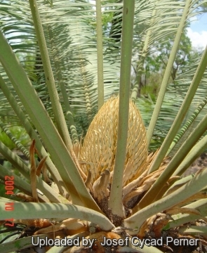 Cycas canalis