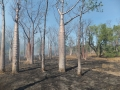 Boab trees in Bush fire.