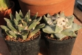 Ariocarpus retusus LH453 Las Tablas, SLP. (left) and Ariocarpus retusus SB240 Matehuala (Right)  This species is quite variable
