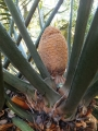 Male cone (developing) in Joe's Cycad Gardens.