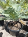 Old specimen from seed grown. At Cycad International. Katherine (Australia)