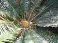Cycad Cones in Joe's Cycad Gardens. Male cone, still developing.