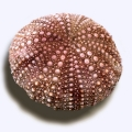 ''Asterias'' is the name of a genus of starfish (but this plant looks like the sea urchin shell)