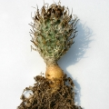 The stem is elongated, with a thin neck on a large taproot.